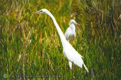 2_egrets