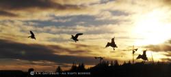 Icelandic Geese