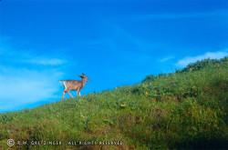 doe_a_deer